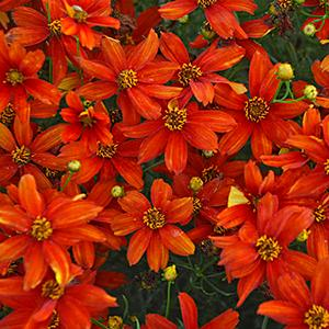 Coreopsis Sizzle & Spice Crazy Cayenne - Coreopsis verticillata -  lg pot